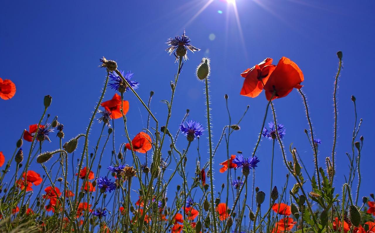 bloemenveld-ilse